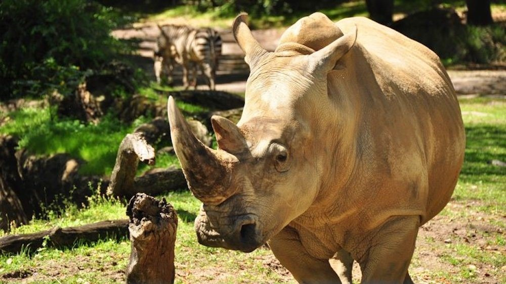 Get 'Up Close with Rhinos' Starting Nov. 1 at Disney's Animal Kingdom Theme Park